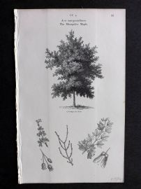 John Loudon 1838 Antique Botanical Tree Print. Montpelier Maple